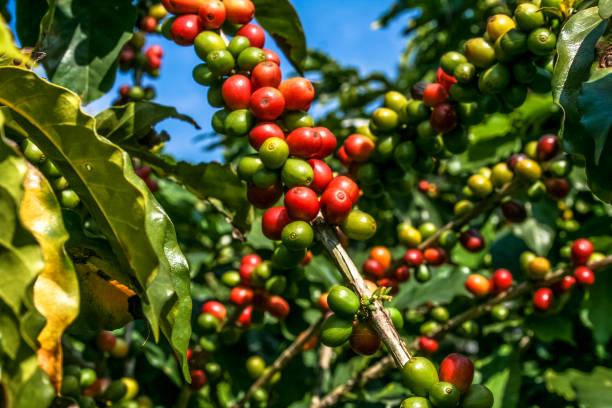 Histoire & origines du café